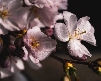 cherry-blossoms-4077043_960_720