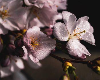 cherry-blossoms-4077043_960_720