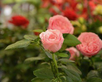flowers-2711669_640