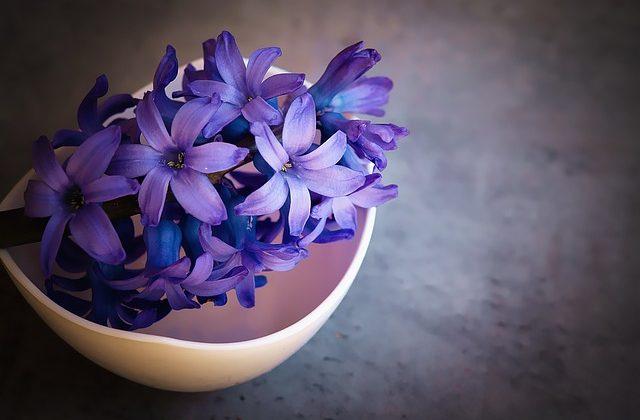 hyacinth-1403653_640