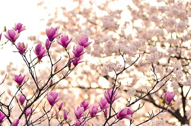 magnolia-2218788_640