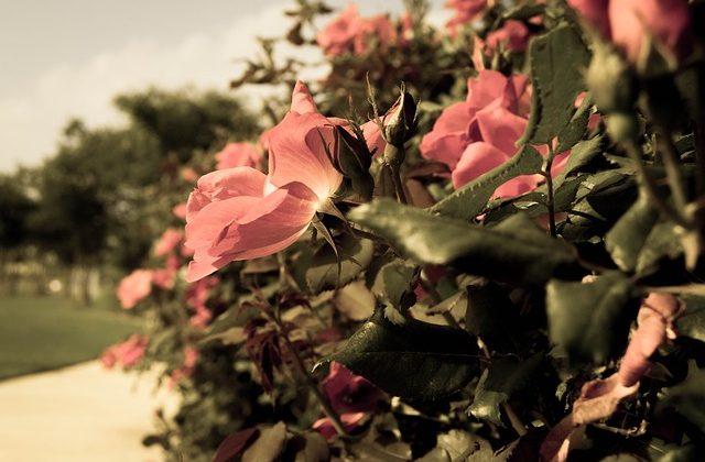 rose-1834979_640