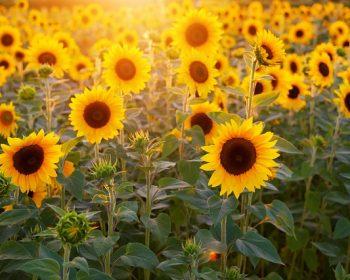 sunflower-3550693_640