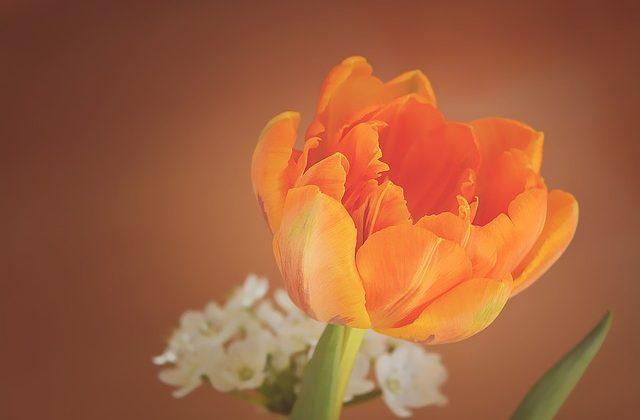 tulip-1290351_640